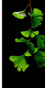 Ginkgo Biloba (James Field)